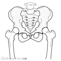 「股関節 イラスト」の画像検索結果